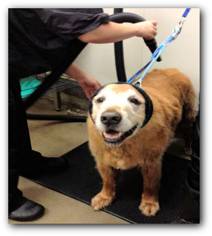 Happy Hoodie for force drying dogs in the grooming salon